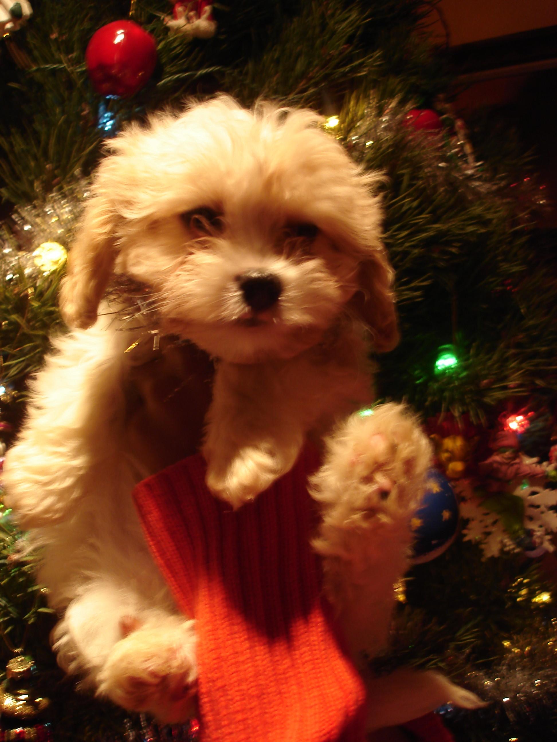 cavapoos - Georgia Christmas Puppy (SOLD)