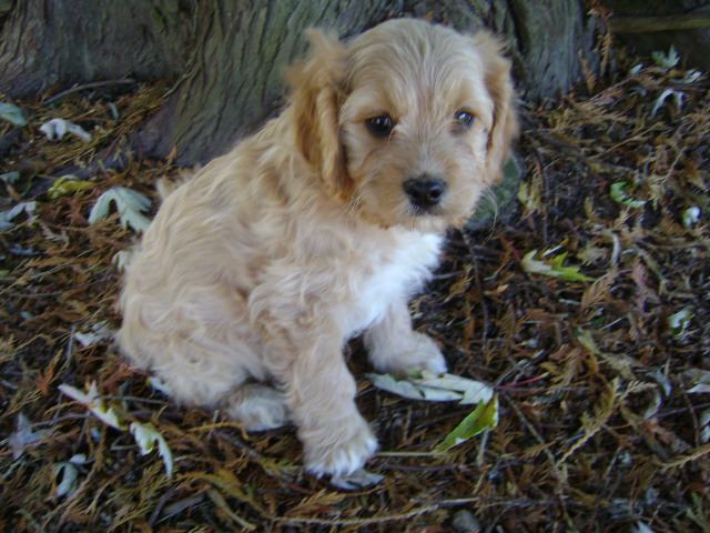 cavapoos - Cavapoo puppy for sale-male